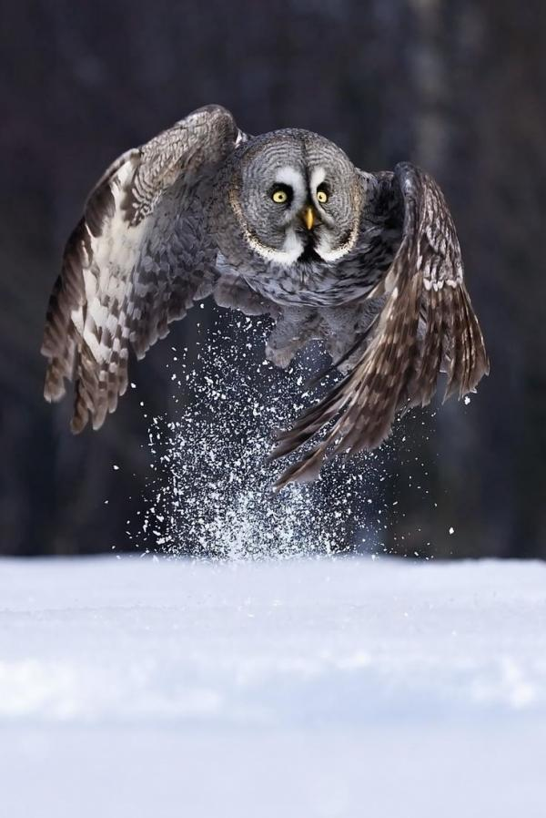 Great Gray Owl svg