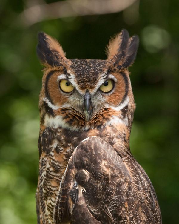 Great Grey Owl svg
