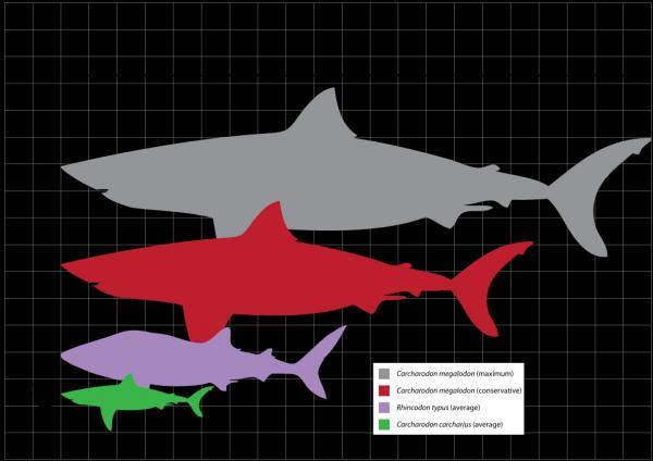 Great White Shark svg