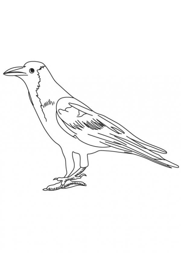 preview Western Jackdaw coloring