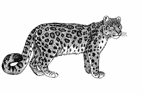 Snow Leopard clipart