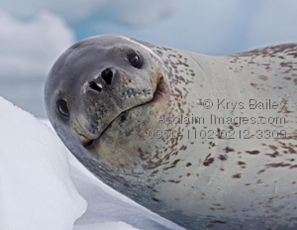 Leopard Seal clipart