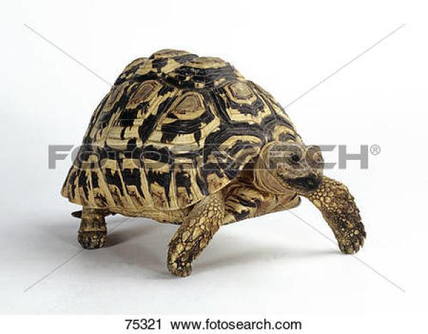 Leopard Tortoise clipart