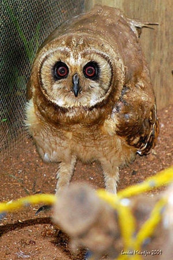 Marsh Owl clipart