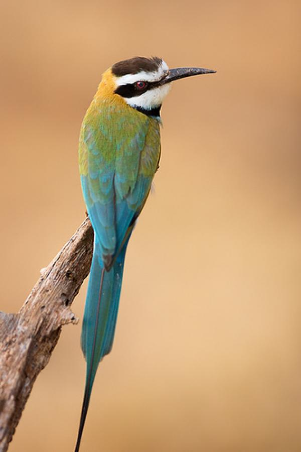 preview Yellow-throated Bee-eater coloring