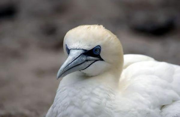 Northern Gannet svg