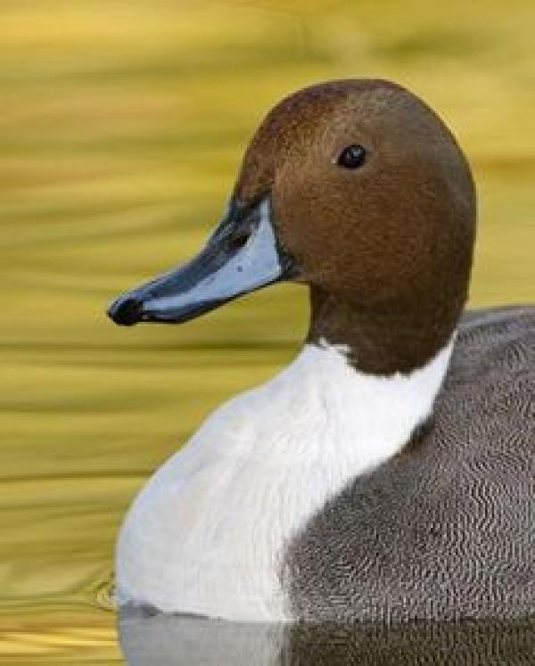 Northern Pintail coloring