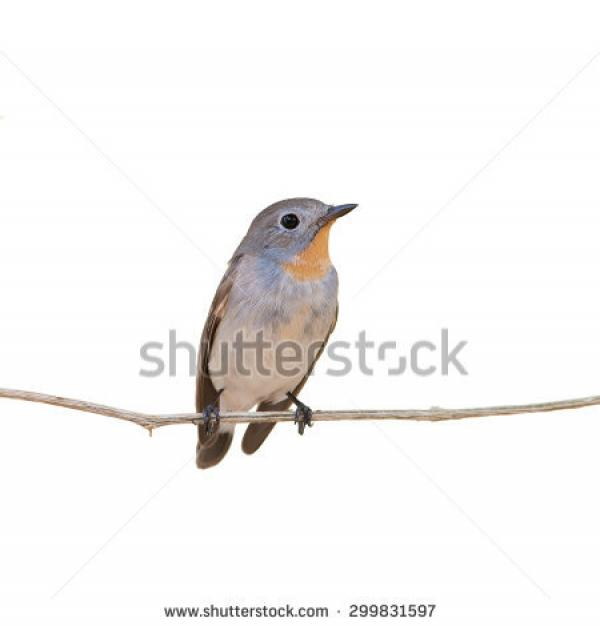 Old World Flycatcher clipart