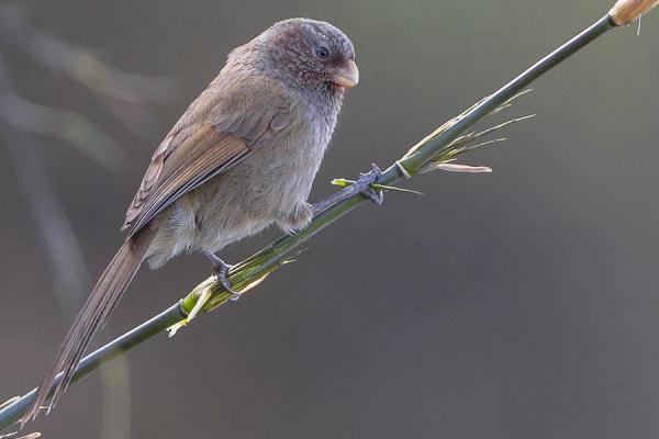Parrotbill svg