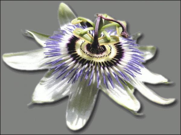 Passion Flower clipart