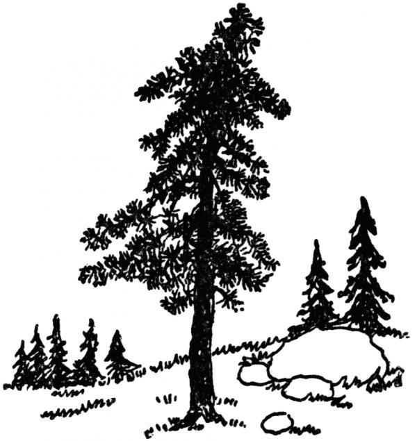 Pine svg