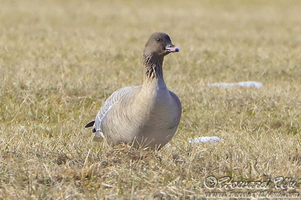 Pink-footed Goose coloring