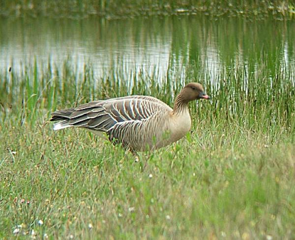 Pink-footed Goose svg