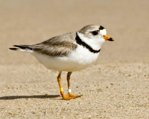 Piping Plover coloring