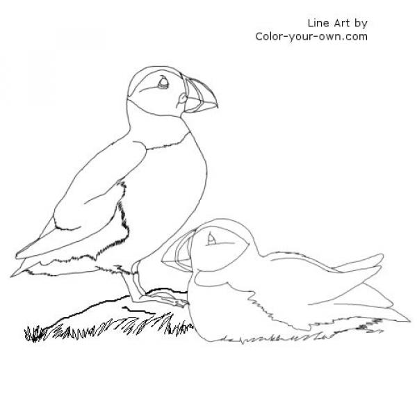 Puffin coloring