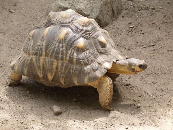 Radiated Tortoise coloring