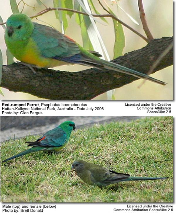 Red-rumped Parrot coloring