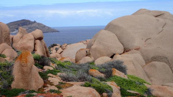 Rock Wallaby svg