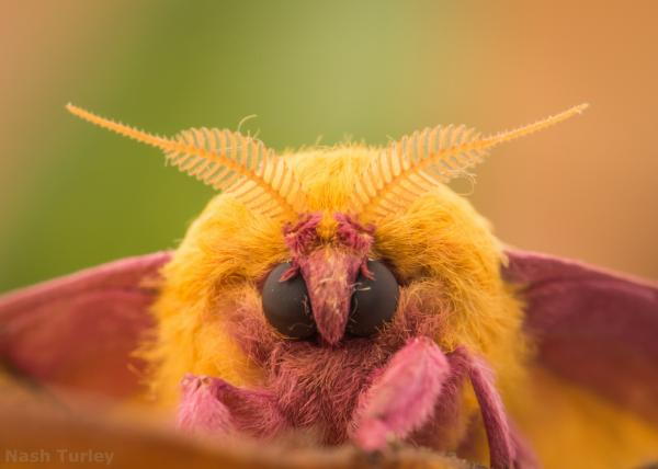 Rosy Maple Moth svg