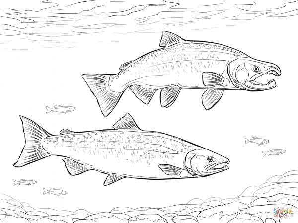 Sockeye Salmon coloring