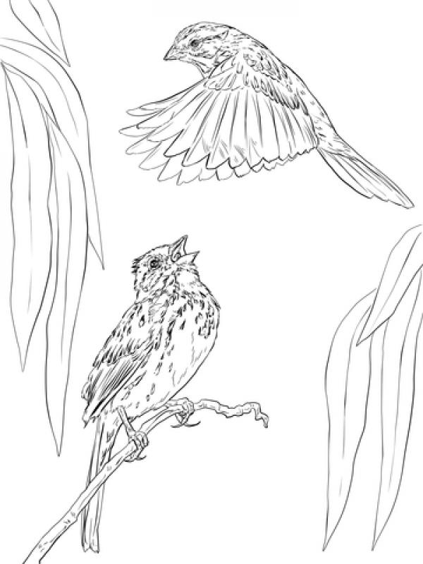 Song Sparrow coloring