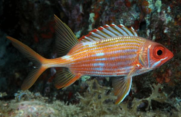 Squirrelfish coloring