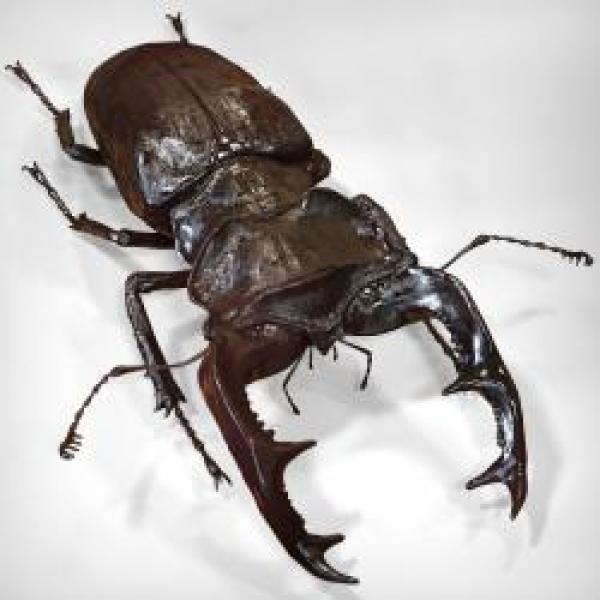 Stag Beetle svg