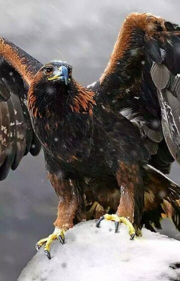 Steller's Sea Eagle svg
