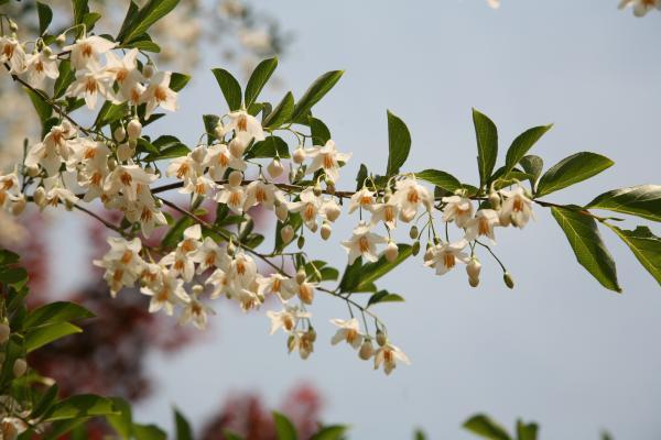 Styrax Blossom svg