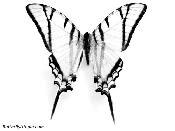 Swallowtail Butterfly coloring