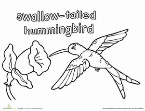 Swallow-tailed Hummingbird coloring