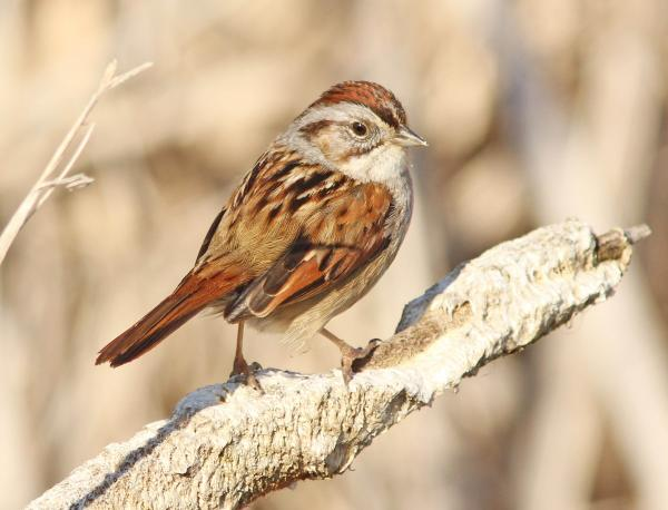 Swamp Sparrow coloring