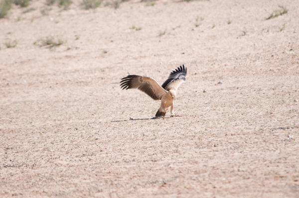 Tawny Eagle svg