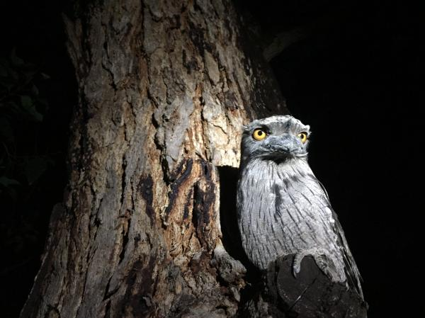 Tawny Frogmouth svg