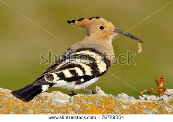 The Hoopoe Close Up clipart