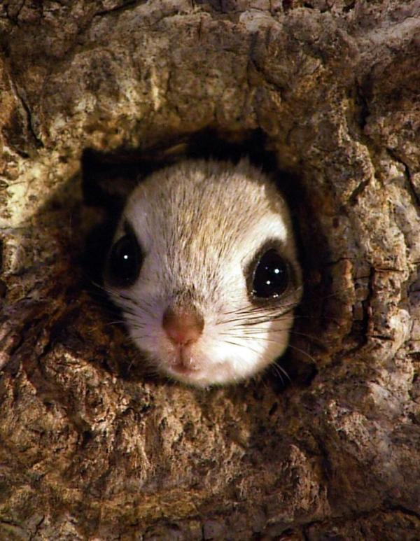 The Japanese Dwarf Flying Squirrel clipart
