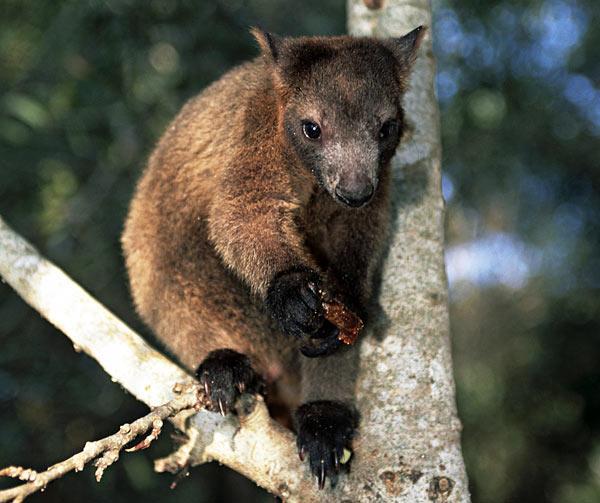 Tree Kangaroo svg