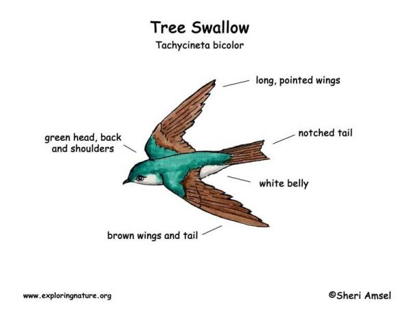 preview Tree Swallow coloring