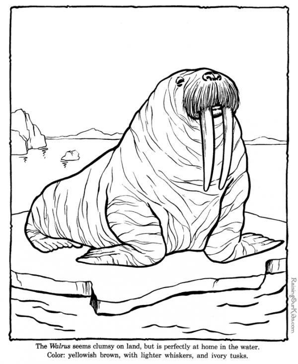preview Walrus coloring
