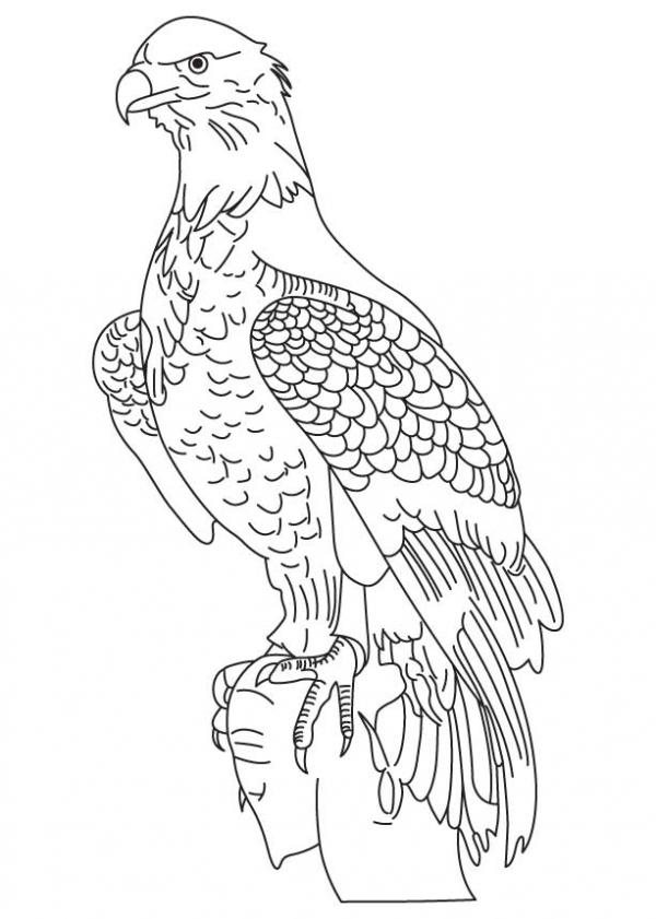 preview Wedge Tailed Eagle coloring