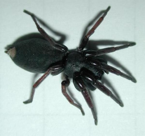 White Tail Spider coloring