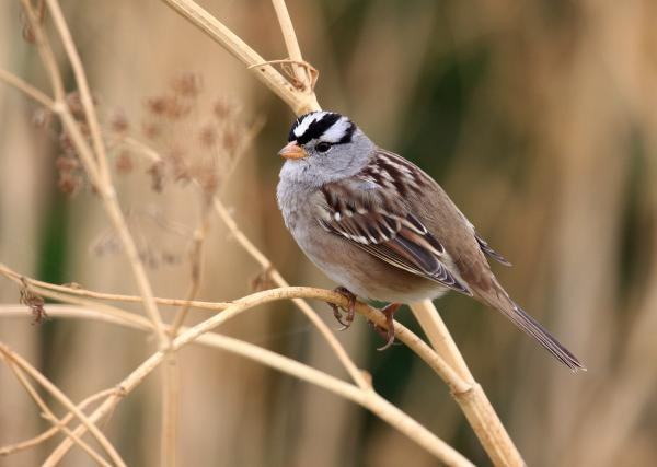 preview White-crowned Sparrow coloring