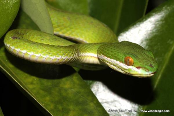 White-lipped Pit Viper svg