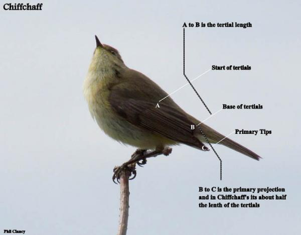 preview Willow Warbler coloring